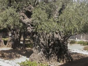 Jeruzsálem, Getszamáni-kert. Ősi olajfák.