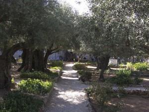 Jeruzsálem, Getszemáni-kert. Ősi olajfák.
